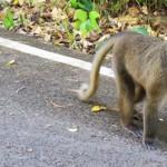 Dikejar Monyet Pulau <b>Weh</b>