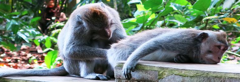 Monyet-Monyet dari <b>Sangeh</b>