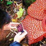 Berburu <b>Rafflesia</b> di Bengkulu