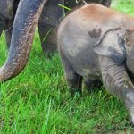 Ujung Jejak <b>Gajah</b> Sumatera